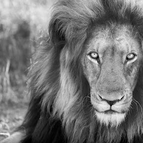 Lion b/w by Aaron St Clair - Animals Lions, Tigers & Big Cats ( b/w, lion, south africa, safari, landscape, king, eyes )
