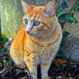 Henry by Dobrin Anca - Animals - Cats Portraits ( love, cat, brittany, garden, friend )
