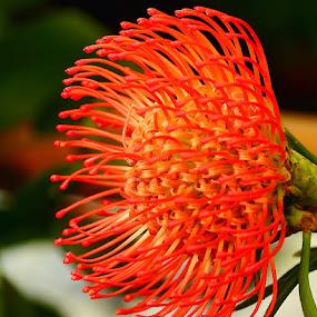 Tentacules by Gérard CHATENET - Flowers Single Flower