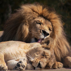 Tenderness by Claudia Lothering - Animals Lions, Tigers & Big Cats