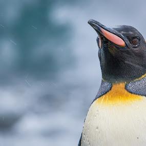 King Penguin in the rain by Steve Bulford - Animals Birds ( king penguin, steve bulford, cold, royal bay, south georgia, penguin, wet, beach, feathers, rain,  )