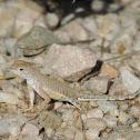 Greater Earless Lizard (Juvenile)