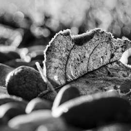 Leaf  by Todd Reynolds - Black & White Objects & Still Life