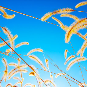 Carefree by Karen Santilli - Nature Up Close Leaves & Grasses ( wheat, sky, barley, blue, grass, hay )