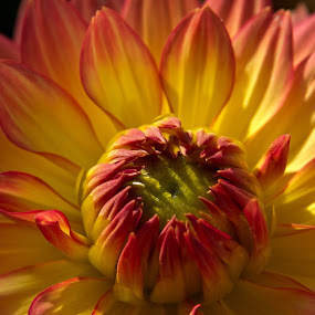 dream in yellow and red by Thomas Stroebel - Nature Up Close Flowers - 2011-2013