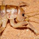 Giant Sand Treader Camel Cricket