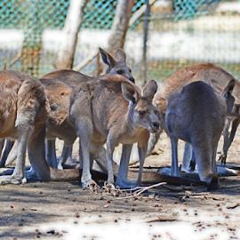 The Gang by Kamila Romanowska - Animals Other Mammals ( mammals, animals, kangaroo, nature, kangaroos, australia, birdland )