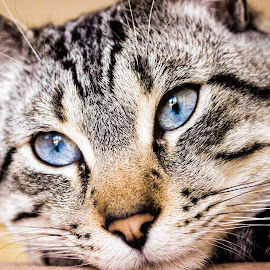 Eyes by Michele Kerstholt - Animals - Cats Portraits ( cat, blue, portrait, eyes )