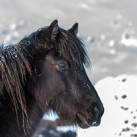 by Einar Sveinn Magnússon - Animals Horses