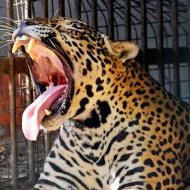 Yawnnn by Asif Bora - Animals Lions, Tigers & Big Cats