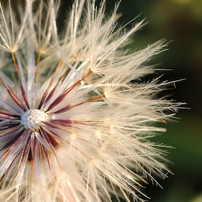 Dandelion by Bob Stanford - Nature Up Close Other plants
