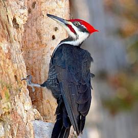 Woody Woodpecker by Bob Bissonette - Animals Birds ( birds )