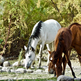 Mid Day Meal by Donna Probasco - Animals Horses
