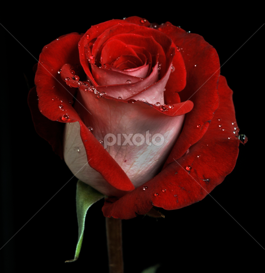 Red Rose by Cristobal Garciaferro Rubio - Nature Up Close Flowers - 2011-2013 ( rose, drop, drops, flower )