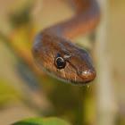 stout sand snake