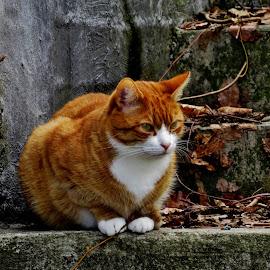 Røder by Thor Erik Dullum - Animals - Cats Portraits ( cats, cat eyes, reddish, portraits, animal,  )