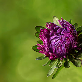 Purple .... wild by Mikaela Dana - Flowers Single Flower ( plant, wild, purple, outdoor, nikon, bokeh, garden, flower )
