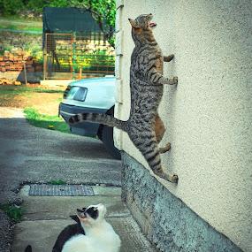 spider cat :) by Boris Romac - Animals - Cats Playing ( cats, playing, croatia, coguar, wall walking cat, sinj, spider cat )