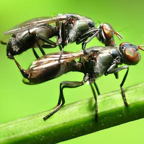honeymoon by Assoka Andrya - Animals Insects & Spiders