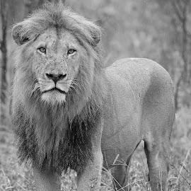 The King! by Anthony Goldman - Black & White Animals ( predator, nature, south africa., londolozi, b & w, big cat, wild, wildlife )