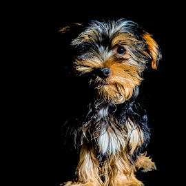 Boesman by Petrus En Janine Theron - Animals - Dogs Puppies ( colors, puppy, dog )
