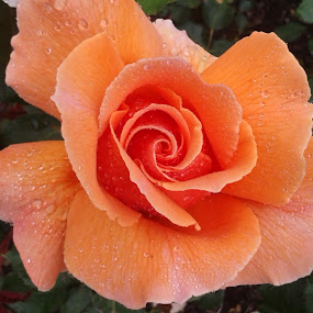 Peach Rose by Tracey Dolan - Flowers Single Flower