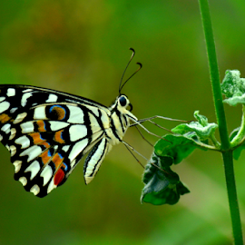 The Lime Butterfly by Pradeep Krishnan - Animals Insects & Spiders ( butterfly, butterflies, colorful butterfly, colored butterfly, insect )