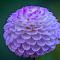 Purple Flower 640 ISO 1-250 f 5.6.jpg