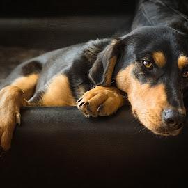 Greek Hound Reclining by Linda Johnstone - Animals - Dogs Portraits ( animals, dogs, natural lighting, pets, fur, dark background, paws, cute dog, greek hound )