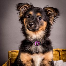 by Myra Brizendine Wilson - Animals - Dogs Portraits ( canine, foster kosse, foster dog, kosse, pet, foster, gcspca, dog, greater charlotte spca, foster dog kosse,  )