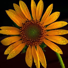 Sunflower  by Tahir Sultan - Flowers Single Flower ( close up, macro, yellow, sunflower, flower, water drops,  )