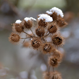 Spiky by Marco Bertamé - Nature Up Close Other plants ( snow, white, brown, blur, spiky, sdof )