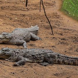 Mugger by Deva Vinoth - Animals Reptiles