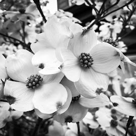 Dogwood by Mary Phelps - Black & White Flowers & Plants ( blossom, nashville, tennessee, dogwood, tree, black and white, t1i, canon,  )