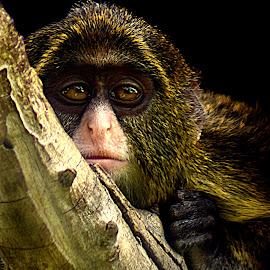 DaBrazza Baby II by Shawn Thomas - Animals Other Mammals