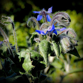 Fuzzy Borage by Becky Luschei - Nature Up Close Other plants ( seasoning, lovely, blue, herb, food, flower )