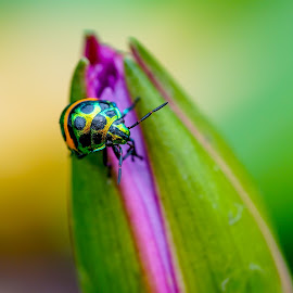 by Minh Hải - Animals Insects & Spiders ( plant, body, colorful, yellow, leaf, beauty, beetle, blossom, close, lotus, nature, pool, fresh, pink, pond, closeup, black, flower, animal, purple, park, lutus, bee, blooming, flora, green, beautiful, lake, bloom, antenna, close-up, environment, aquatic, color, outdoor, background, bug, brown, natural, floral )
