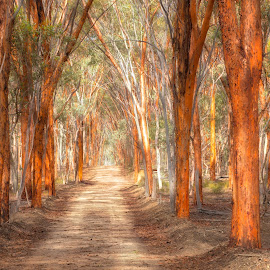 Dryandra Woodland - includes a Red Gum Pathway by Richard Duerksen - Landscapes Forests ( dryandra, perth, dirt road, woodland, road, red gum, eucalyptus )