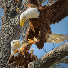 A Welcome Fish by Don Holland - Animals Birds ( eagle, pair, fish, sunny, shiloh, closeup )