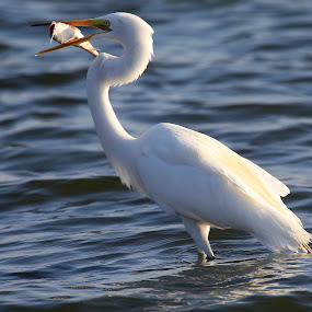 Great Egret fishing by Cristobal Garciaferro Rubio - Animals Birds ( water, garza, lagoon lake, white, fishing, great egret )