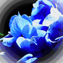 Blue Hydrangea by Candace Penney - Digital Art Things ( edited, petals, close up, blues, flower )