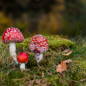 by Irena Gedgaudiene - Nature Up Close Mushrooms & Fungi ( mushroom, amanita,  )