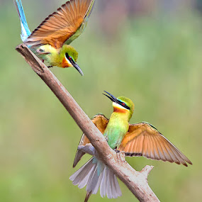 BLUE TAILED BEE EATERS by Subramanniyan Mani - Animals Birds
