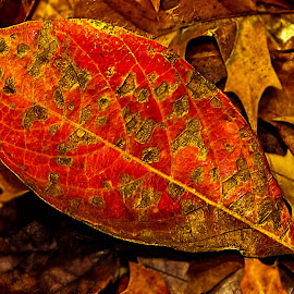 Autumn Jewel by Dee Haun - Nature Up Close Leaves & Grasses ( orange, goledn highlights, autumn, 171109x0999rce4, nature close up, leaves, oval,  )