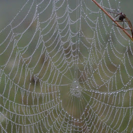 Morning Dew Web by Roger Quay - Nature Up Close Webs