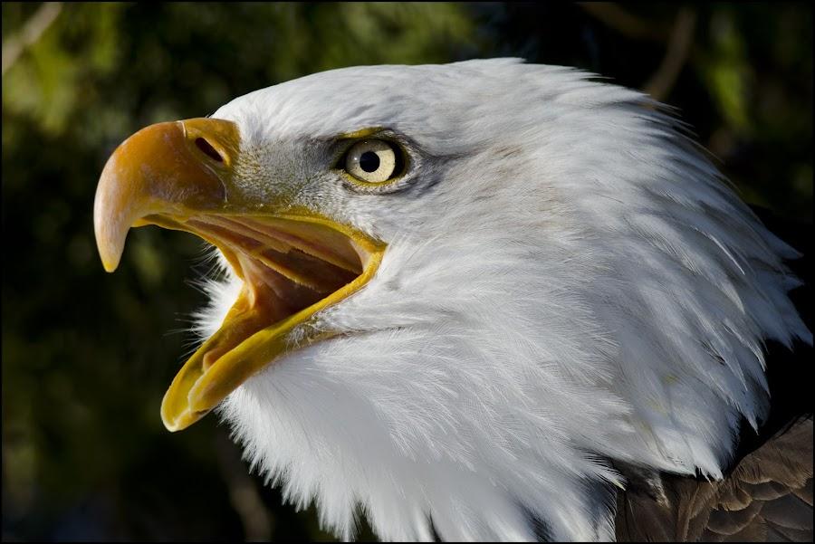 Bald Eagle Scream by Jen St. Louis - Animals Birds ( raptor, bird of prey, bird, eagle, bald eagle, portrait, haliaeetus leucocephalus,  )