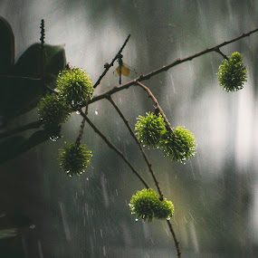 Rain in Frame by Gokul Rajenan - Nature Up Close Trees & Bushes ( fruits, branch, dragonfly, rain )