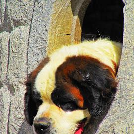 by Ana Arroseiro - Animals - Dogs Portraits ( dogs, medieval, animals, dog, friends, dog portrait )