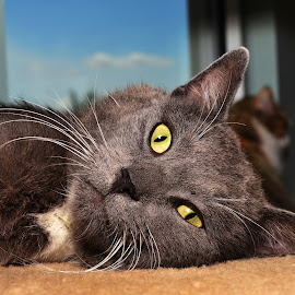 Meyer by Michael Cowan - Animals - Cats Portraits