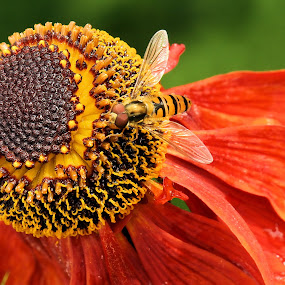 Helenium 'Moorheim Beauty' with hoverfly 2b by Val  Ford - Nature Up Close Flowers - 2011-2013 ( hoverfly, sneezeweed, macro, episyrphus balteatus, marmalade fly, red flower, nectar, helenium, brown cone, close-up, moorheim beauty )